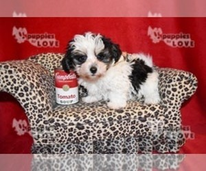 Morkie Puppy for Sale in SANGER, Texas USA