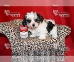 Morkie Puppy For Sale in SANGER, TX, USA