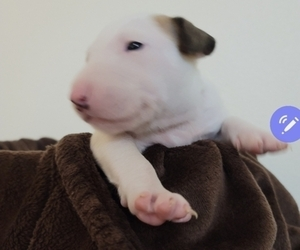 Bull Terrier Puppy for Sale in LAS VEGAS, Nevada USA