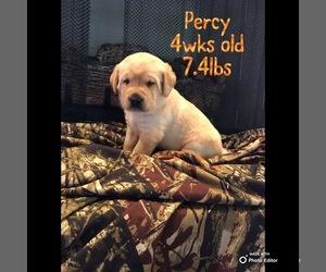 Labrador Retriever Puppy for sale in DAYTON, TN, USA