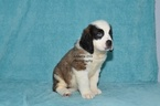 Saint Bernard Puppy For Sale in MILLERSBURG, IN, USA