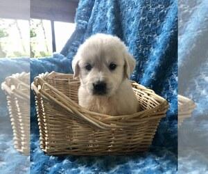 English Cream Golden Retriever Puppy for Sale in DOSS, Missouri USA