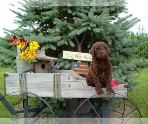 Labradoodle Puppy for sale in COLS GROVE, OH, USA