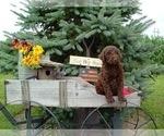 CKC Multigenerational Labradoodle Puppy