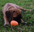 5 AKC English Mastiffs ready for furever homes