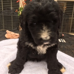 View Ad: Australian Labradoodle-Bernese Mountain Dog Mix Puppy for