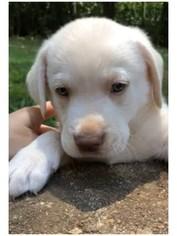 Labrador Retriever Puppy For Sale in MONROE, GA, USA
