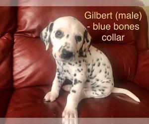 Dalmatian Puppy for sale in MASONVILLE, NJ, USA