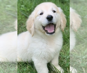 English Cream Golden Retriever Puppy for sale in MORGANTOWN, IN, USA