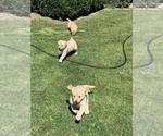 Golden Retriever Puppy For Sale in MODESTO, CA, USA