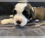 Puppy 3 Saint Bernard