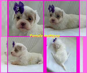 Maltipoo Puppy for sale in LANCASTER, KY, USA