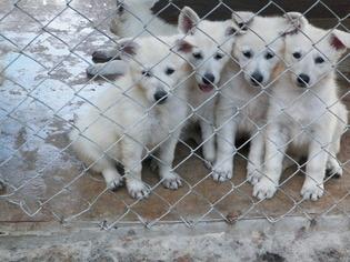 German Shepherd Dog Puppy For Sale in WEIMAR, TX, USA