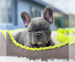 French Bulldog Puppy for Sale in HILLSBORO BCH, Florida USA