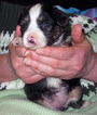 Miniature Australian Shepherd Puppy For Sale in HILLIARD, OH, USA