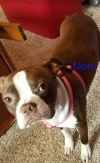 Boston Terrier Puppy For Sale in KANSAS CITY, MO