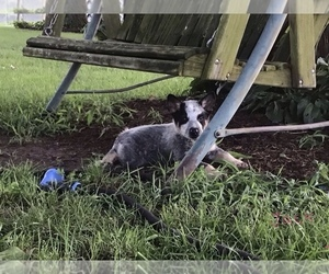 Australian Cattle Dog Puppy for Sale in AUGSBURG, Illinois USA