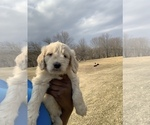 Small #35 Goldendoodle-Poodle (Standard) Mix