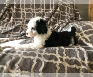 Sheepadoodle Puppy for Sale in CARMEL, Indiana USA
