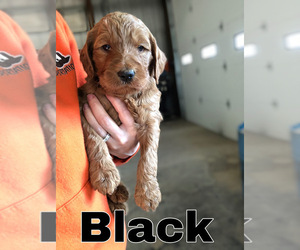 Goldendoodle Puppy for Sale in WAYLAND, Iowa USA