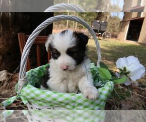 Australian Shepherd Puppy for sale in LANSING, MI, USA
