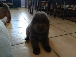 Chow Chow Puppy For Sale in DENVER, CO, USA