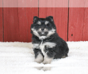 Pomsky Puppy for sale in CLEVELAND, OH, USA