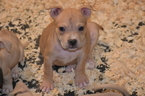 American Bully Puppy For Sale in GENERAL DELIVERY, DC, USA