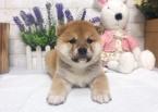 Shiba Inu Puppy For Sale in CHICAGO, IL, USA