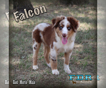Falcon Mini Red Merle Male Aussie