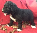 Pyredoodle Puppy For Sale in LIBERTY, MS,