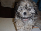 Mal-Shi Puppy For Sale in ALDEN, NY