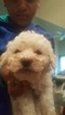 Bichon Frise Puppy For Sale in BEDFORD, IN, USA