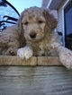 Double Doodle Puppy For Sale in JUNEAU, WI, USA