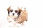 Mal-Shi Puppy For Sale in NAPLES, FL