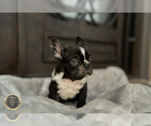 French Bulldog Puppy for sale in GARDENA, CA, USA