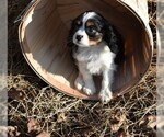 Cavalier King Charles Spaniel Puppy For Sale in MILLERSBURG, OH, USA