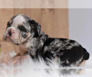 Bulldog Puppy for sale in FISHER ISLAND, FL, USA