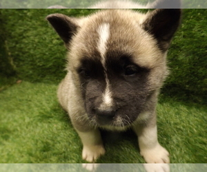 Akita Puppy for sale in ROLLA, MO, USA
