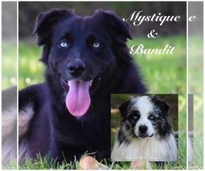 Father of the Australian Shepherd puppies born on 02/03/2021
