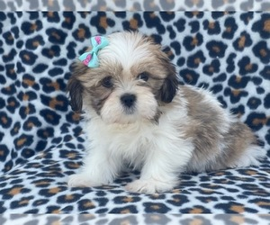 Lhasa Apso Puppy for sale in LAKELAND, FL, USA