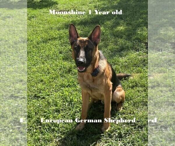 Medium Photo #1 German Shepherd Dog Puppy For Sale in BELLA VILLA, MO, USA
