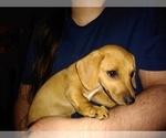 Puppy 2 Chiweenie