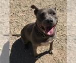 Small #55 American Pit Bull Terrier
