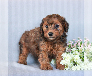YorkiePoo Puppy for sale in GAP, PA, USA