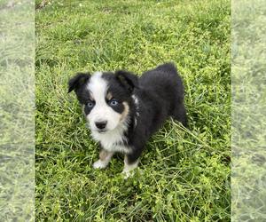 Australian Shepherd Dog for Adoption in EXETER, Missouri USA