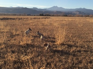 Jack Russell Terrier Puppy For Sale in HYGIENE, CO