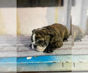 English Bulldog Puppy for sale in N LAS VEGAS, NV, USA
