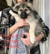 Small #16 German Shepherd Dog