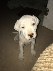 Argentinian Mastiff Puppy For Sale in BROAD RUN, VA